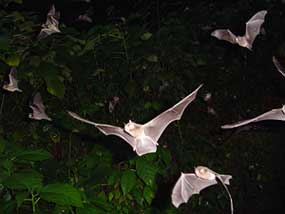bats from tamana hill cave